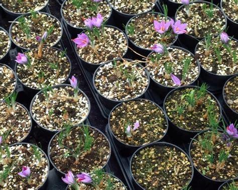 coltivazione zafferano in vaso coltivazione redditizia delle piante officinali