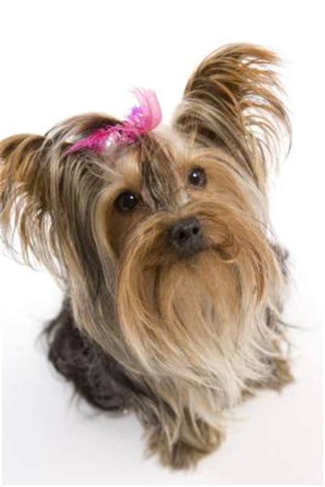 caring for yorkies home treatment for yorkie tear stains care the daily puppy