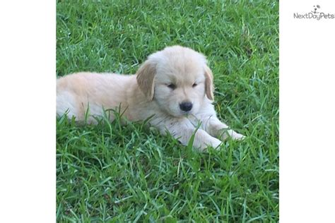 golden retriever breeders in sc golden retriever south carolina rescue beau adopted puppy jacksonville nc labrador
