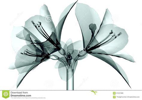 Feather By Amaryllis x image of a flower isolated on white the amaryllis