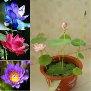 Mini Lotus Nelumbo Nucifera Seeds Mini Lotus Seeds Small Water
