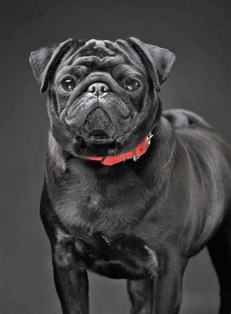 what is the pugs name in in black pug names for the one of a or