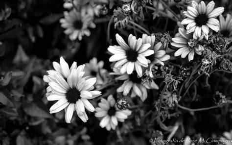 imagenes en blanco y negro flores margaritas en blanco y negro las fotos del profe jos 233