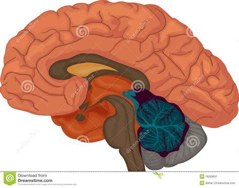 cross section human brain brain stock image image 18293831