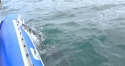 shark bites boat great white shark bites inflatable boat as worried crew