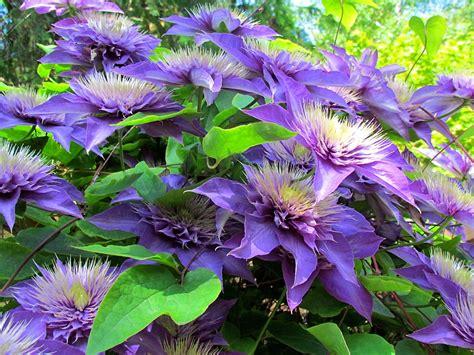Clematis Multi Blue 2097 clematis multi blue clematis multi blue dobbies garden
