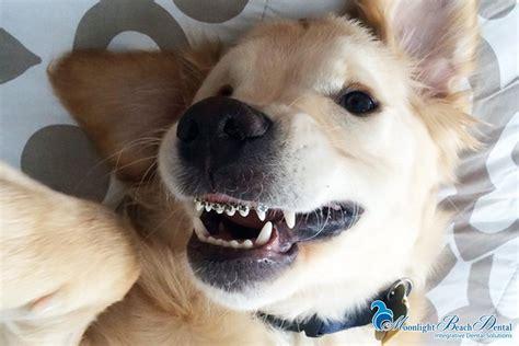 puppy braces puppy with braces moonlightbeachdental