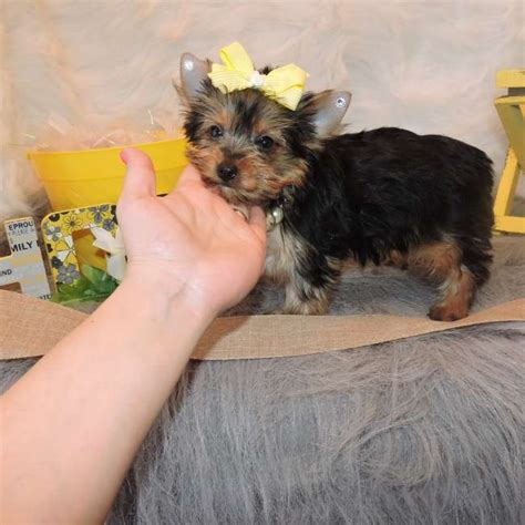 micro teacup pomeranian for adoption micro teacup pomeranian puppies for adoption albany for sale eugene pets dogs