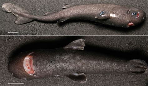 pocket shark extremely water pocket shark in gulf of