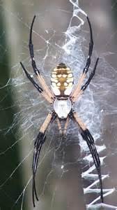 Garden Spider Sc Types Of Spiders In Garden Spider Argiope