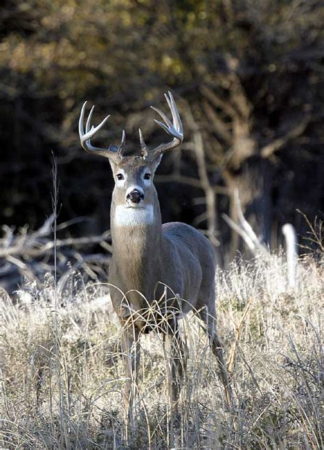 image buck file quivira whitetail buck jpg