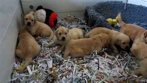 golden retriever puppies for sale in wales golden retriever puppies 8 11 14 wales conwy