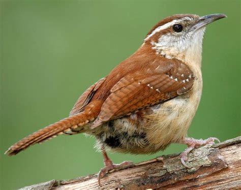 state bird of carolina south 187 carolina wren