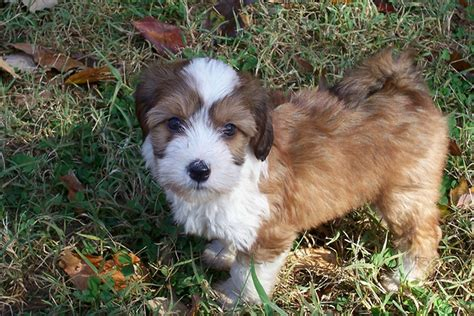 price of westie puppies tibetan terrier price in indiatibetan terrier puppy for sale in breeds picture