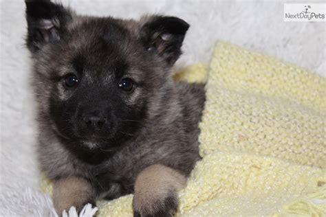 elkhound puppies for sale elkhound puppies for salenorwegian elkhound puppies breeds picture