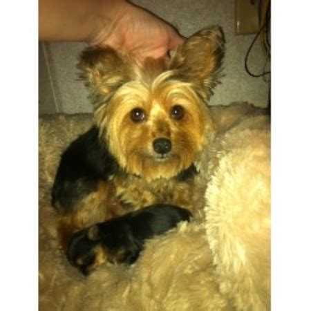 yorkies in louisiana shawn s precious yorkies terrier breeder in kinder louisiana listing id