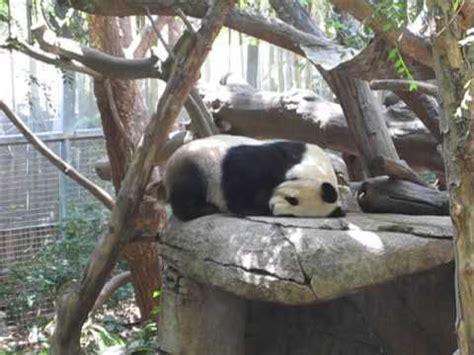 pees while sleeping panda and pooping while sleeping