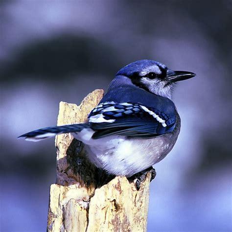 blue jay bird nature free stock photos in jpeg jpg