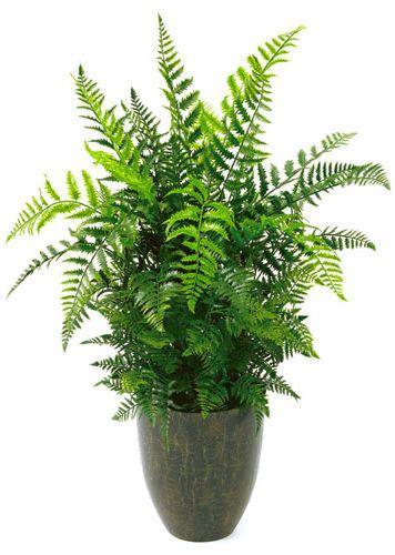 boston fern low light houseplants safe for cats boston fern apartment