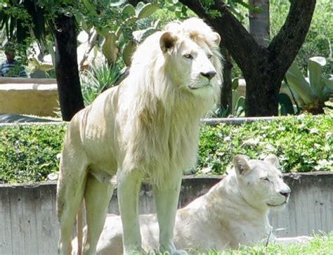 imagenes de leones macho y hembra leones blancos zoo de guadalajara jos 233 rafael sosa flickr