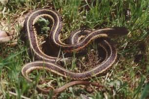 Garter Snake Eastern Garter Snake Reptile Hibian Discovery Zoo