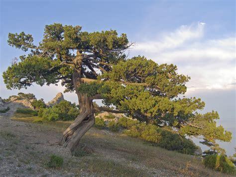 juniper tree varieties is juniper a tree or bush