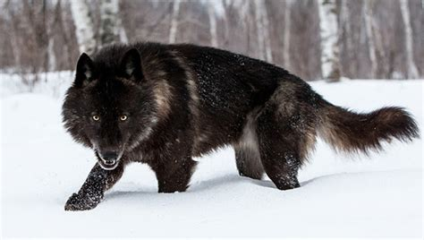 Perfect Timing Photos A Close Encounter With A Minnesota Black Wolf American