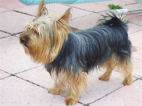 large yorkies for sale silver terriers pictures breeds picture