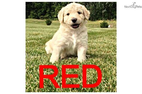 aussiedoodle puppies for sale near me aussiedoodle puppy for sale near toledo ohio 04e31683 5b01