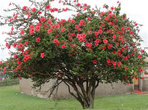 where to buy a tree hibiscus tree ideas i hibiscus tree