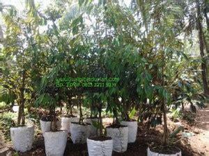 Bibit Durian Musang King Cirebon bibit durian montong bibit durian unggul durian bawor