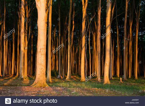 nienhagen wood in mecklenburg vorpommern germany nienhagen wood stock photos nienhagen wood stock images