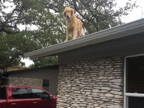 dog on roof owners don t be alarmed about dog on the roof pet