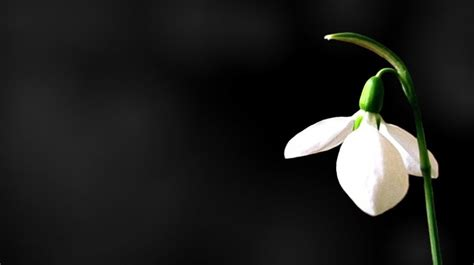 Amarylis Snow Black a snowdrop on a black background hd wallpaper