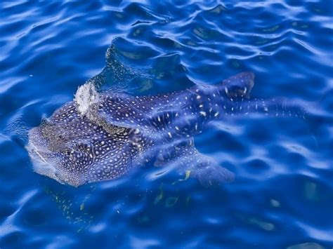 Whale Overall whale shark conservation in tanzania volunteer abroad