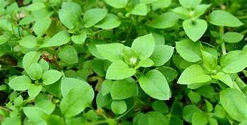 Winter Garden Apartment - chickweed stellaria media winter s edible weed the forager s year