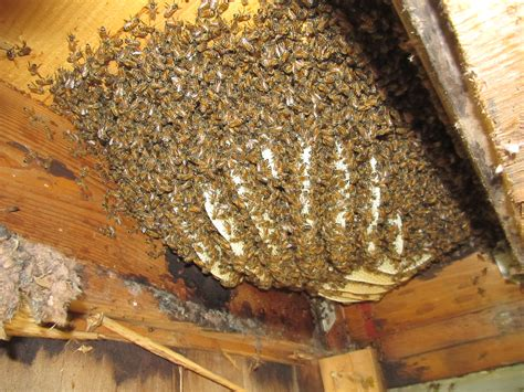 safe and ways to remove bee hives survivalkit