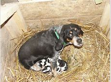 BELLE WITH PUPPIES - Leo's Bluetick Beagles Leo