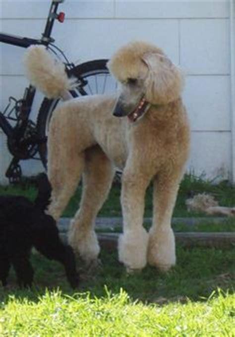 poodle with plain hair cut 1000 images about poodle cuts on pinterest poodles