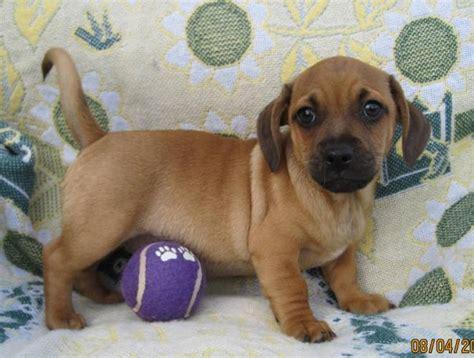 pug dachshund daug daschund pug sweet baby animals