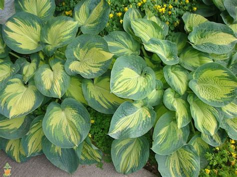 great expectations hosta for sale the planting tree