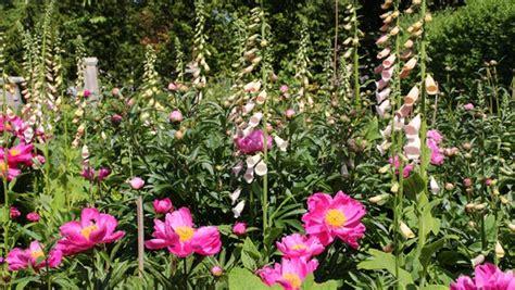 naturnaher garten pflanzen zweij 228 hrige pflanzen auss 228 en ndr de ratgeber garten