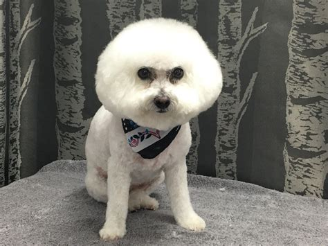 bichon frise puppies florida bichon frise wags to riches grooming