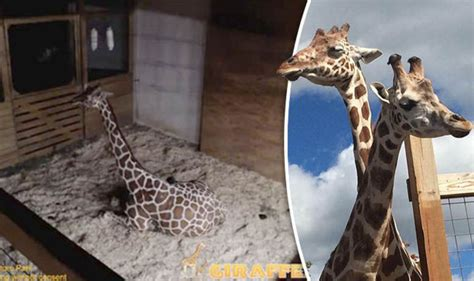 Pregnancy Recorded Live Birth April The Giraffe Foetus Activity And Calf Movement Recorded As To Be