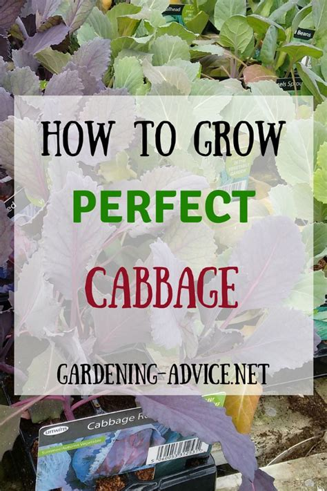 growing cabbage  beginners