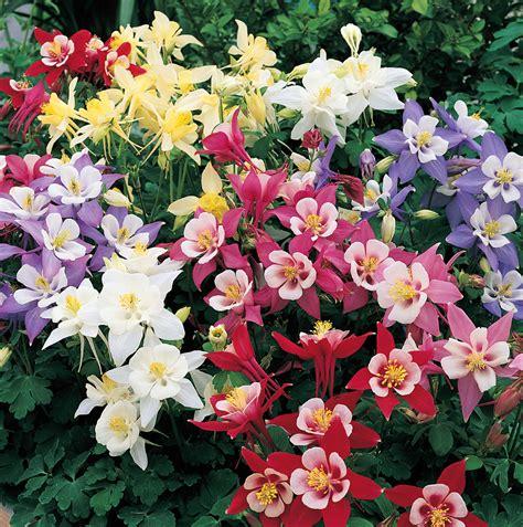 Origami Columbine Flower - springperennials