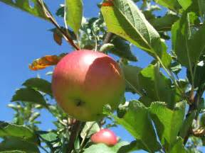 apple tree trimming learn how and when to prune apple trees
