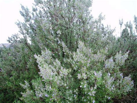 dove fiorisce il rosmarino arbusti e piante scheda rosmarino rosmarinus officinalis