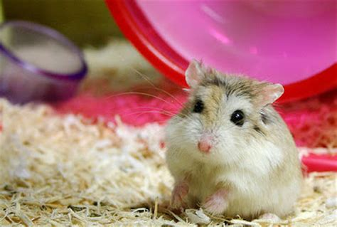 Hamster Roborovski Normal white faced roborovski what the pets