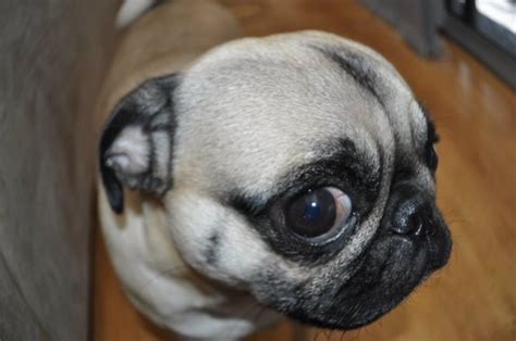 expectancy for a pug pug breeds picture